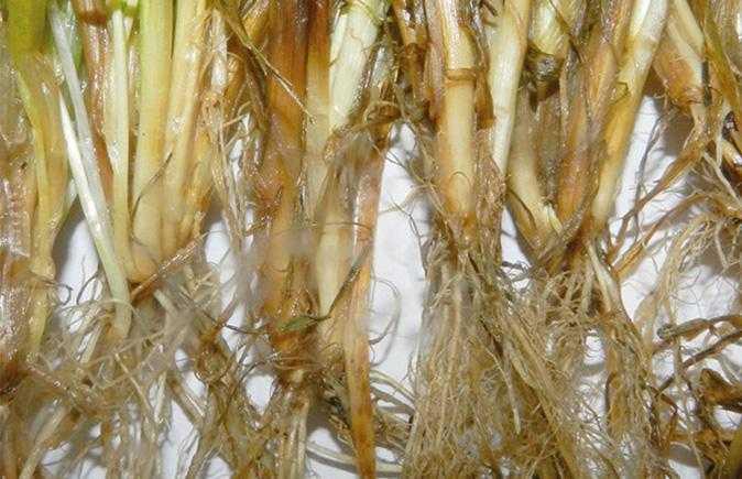 Фузаріозна коренева гниль