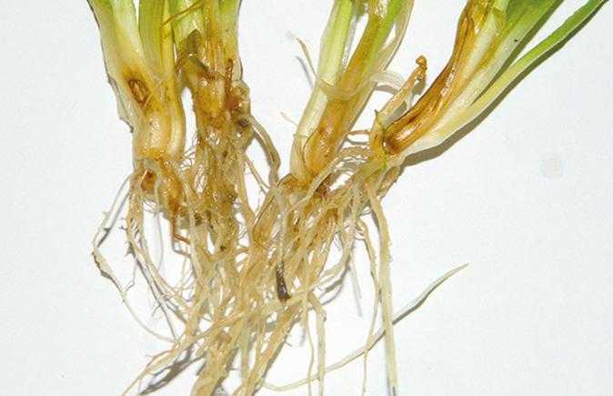 Гельмінтоспоріозна коренева гниль