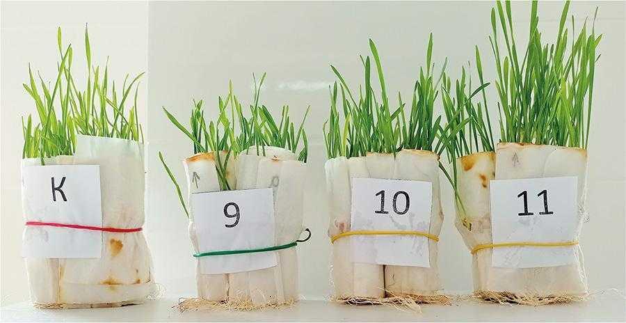Інтенсивність розвитку пшениці за різних варіантів обробки насіння на 7-й день пророщування (К – контроль (без протруйника), 9 – тебуконазол + флудиоксоніл + імідаклоприд (1,0 л/т); 10 – тебуконазол + флудиоксоніл + тіаметоксам (2,0 л/т); 11 – КАНТАРІС (1,0 л/т)