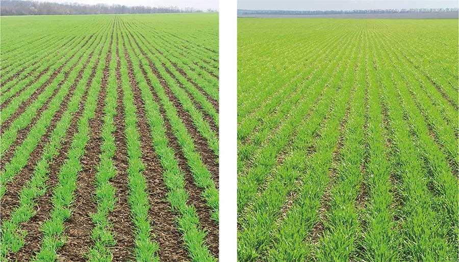 Осінній та весняний розвиток озимої пшениці, посіяної за технологією Opti-till з міжряддям 32 см