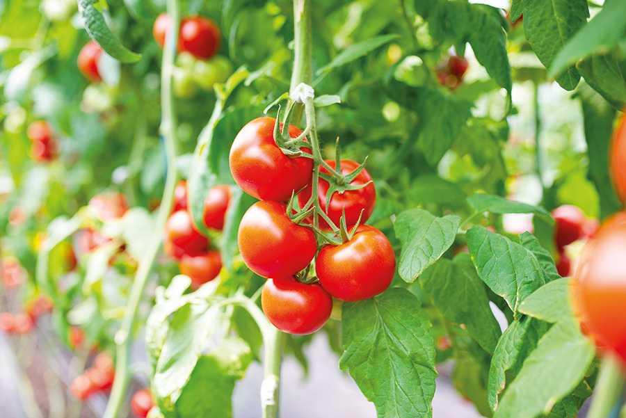 Перетворити україну на лідера овочевого ринку як ТД «Киссон» розкриває потенціал гібридів3