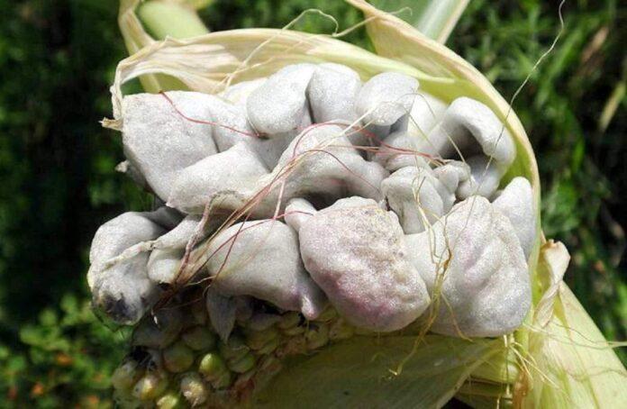 Погодні умови цьогоріч сприяють розвитку пухирчастої сажки на кукурудзі