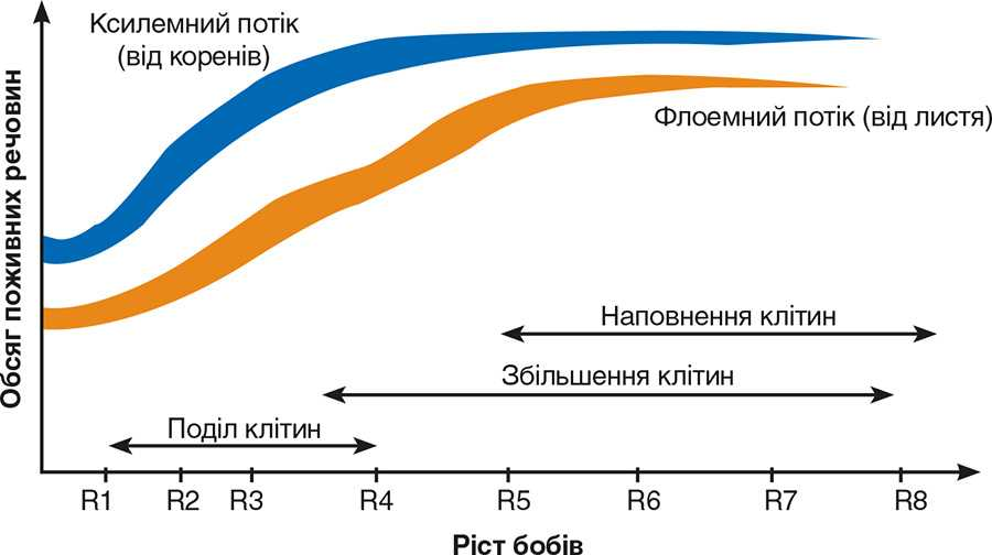Сеникація (посилення відтоку пластичних речовин у насіння) в фазу R3–R5