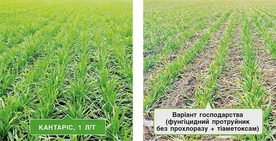 Стан посівів озимої пшениці на час відновлення весняної вегетації за різних варіантів передпосівної обробки насіння (Миколаївська область, березень 2021 р.)