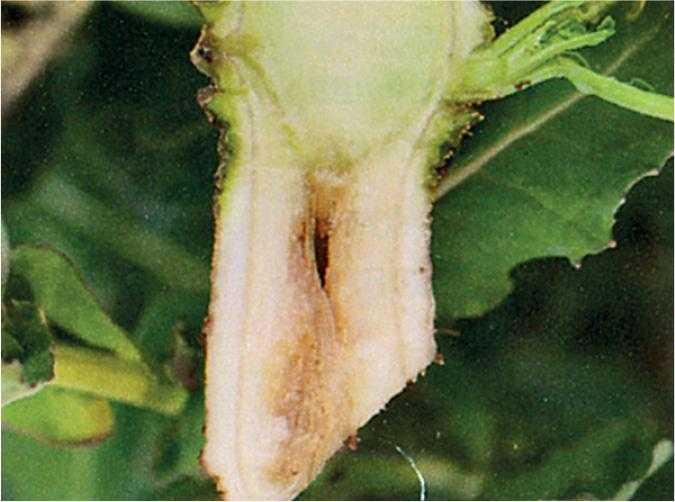 Симптомом нестачі бору на ріпаку є виникнення порожнин у корінні та стеблах