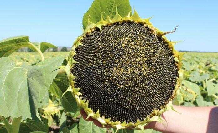 Цьогорічні рекорди: аналітики прогнозують високий урожай соняшнику, ріпаку, сої та кукурудзи