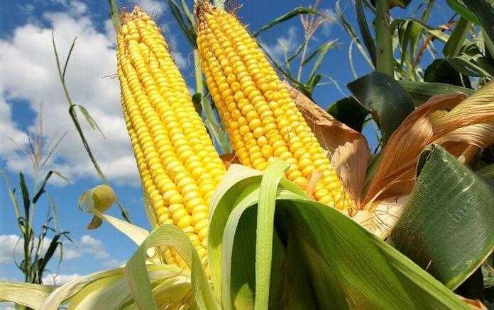 Трейдери підвищують форвардні ціни на кукурудзу