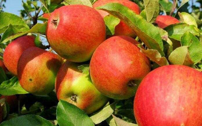Україна збере рекордний урожай яблук, але аргарії на цьому не зароблять - прогноз