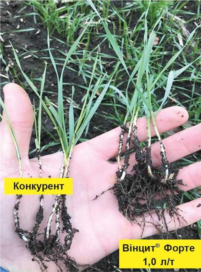 Вінцит® Форте – ваше насіння готове до будь-яких умов!-2