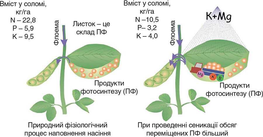 Вплив сеникації на обсяг переміщених продуктів фотосинтезу (ПФ)