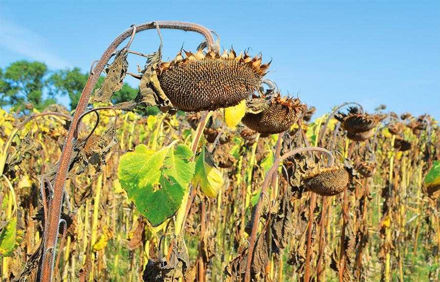 Завдяки десикації соняшнику, ураженого білою чи сірою гниллю, кількість хворих рослин до збирання збільшується лише на 2–4%, без десикації ураження культури зростає на 22–27%