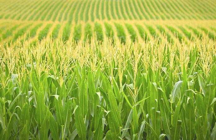 Здоров'я кукурудзи залежно від виду азотних добрив