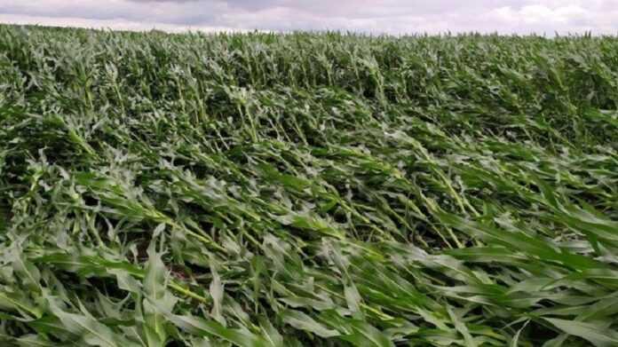 У США виводитимуть вітростійкі гібриди кукурудзи
