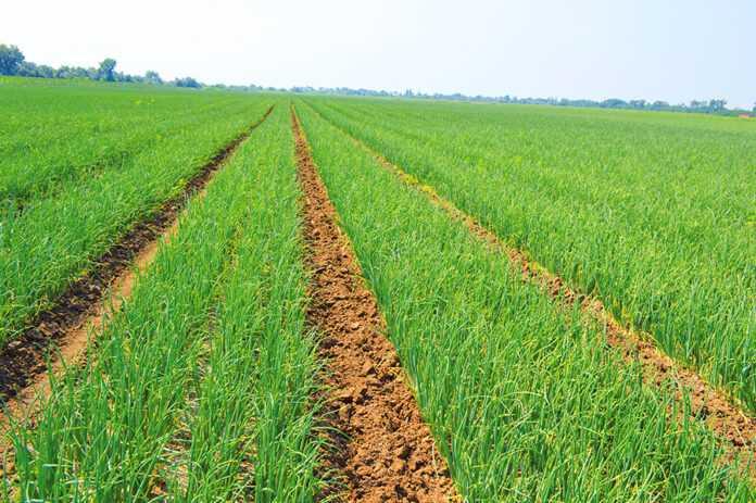 Через слабку кореневу систему цибуля має відносно низьку ефективність поглинання поживних речовин з грунту
