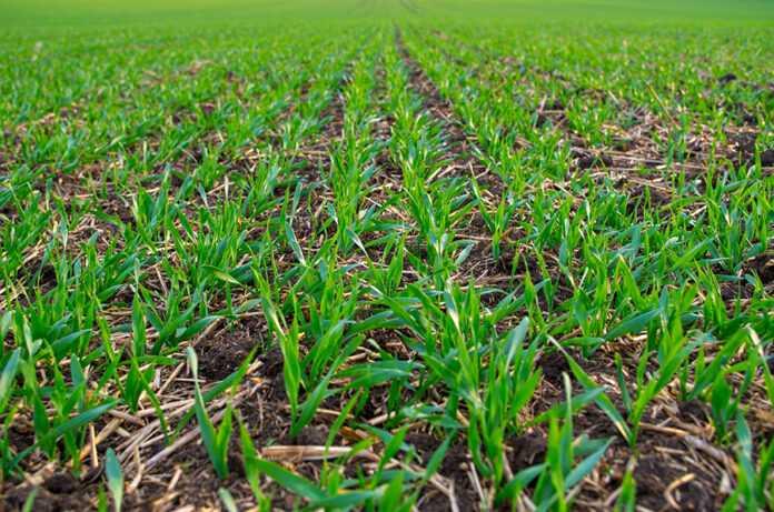 Ефективність технології Ін-Фуроу для забезпечення пшениці мікроелементами в осінній період