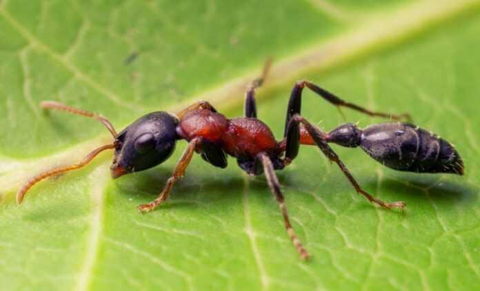 Murahy-zmozhut-zahystyty-roslyny-vid-patogeniv-krashhe-za-pestytsydy-naukovtsi