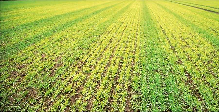 Рис. 4. Характерний прояв дефіциту марганцю на пшениці у вигляді більш зелених смуг по ходу треків техніки по полю