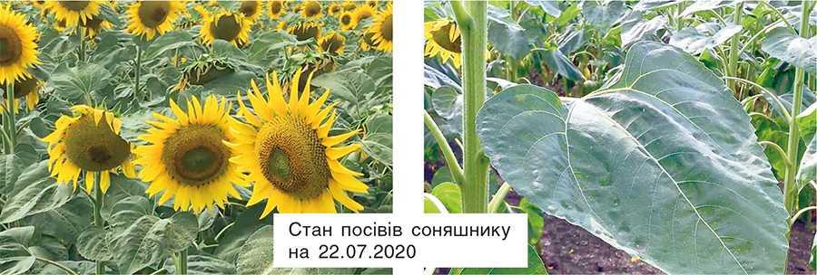 Стан посівів соняшнику на 22.07.2020