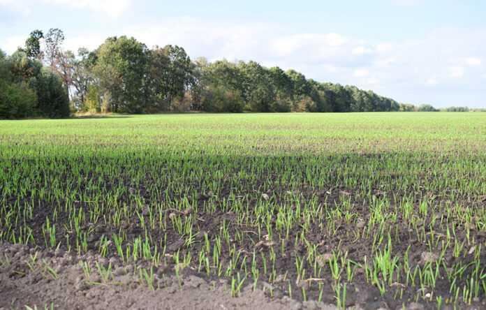 З яким добривом сіяти озиму пшеницю