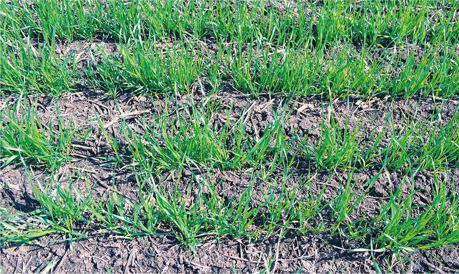 …ефективніше в такий спосіб внести фосфорні добрива, оскільки це сприяє формуванню добре розвиненої кореневої системи і підвищенню зимостійкості рослин