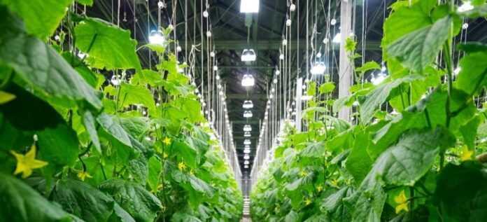 Канадський досвід: як підвищити урожайність в теплицях до 30%