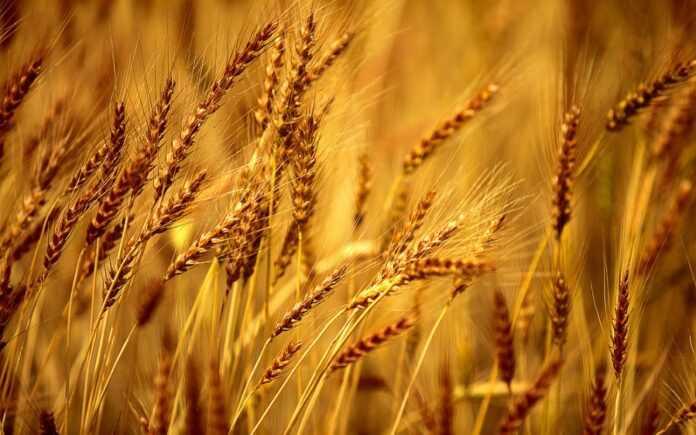 Майже вдвічі за рік: світові ціни на пшеницю стабільно зростають