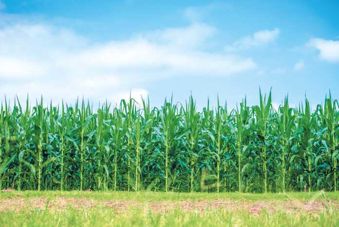 Кукурудза любить кальцій