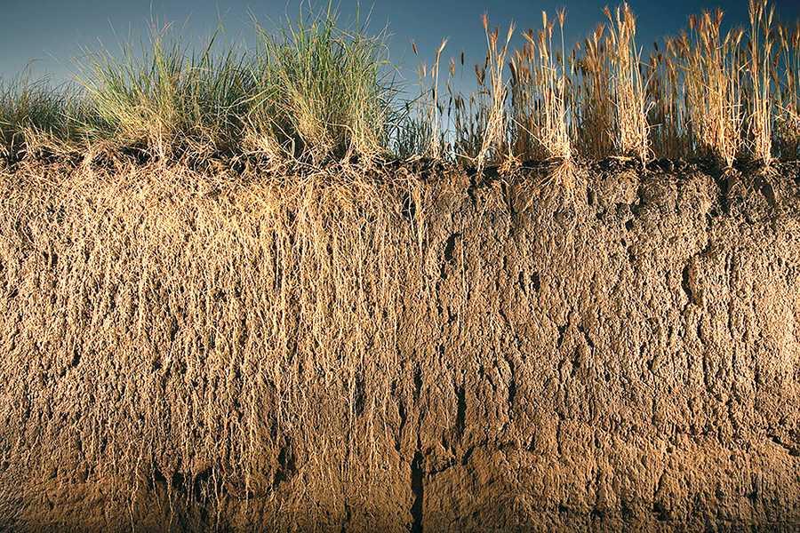 Порівняння кореневих систем Kernza та звичайної пшениці (The Land Institute, Саліна, штат Канзас)