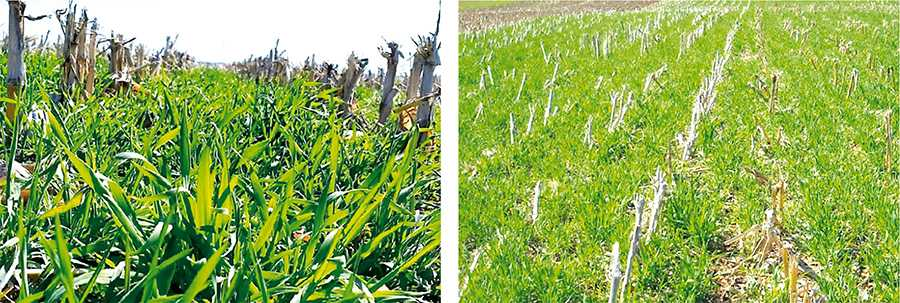 Рис.2. Покровная культура– озимая рожь, высеянная осенью в растительные остатки кукурузы при помощи No-till сеялки