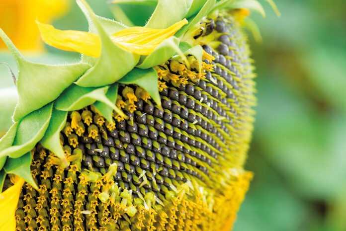 Урожайність соняшнику за різних систем удобрення