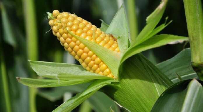 Експортні ціни на українську кукурудзу збільшилися через затримку збиральної кампанії, – трейдери