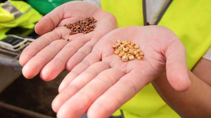 Знайдено спосіб збільшення розміру зерна сорго у два рази, – австралійські вчені