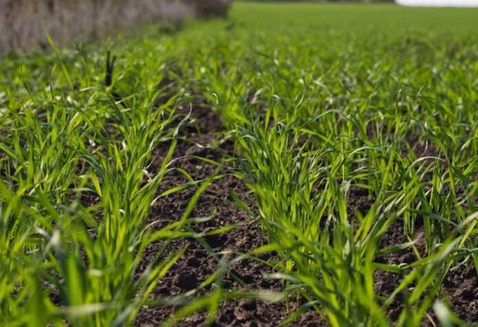 Вологозабезпеченість посівів озимих культур в Україні у вересні була недостатньою