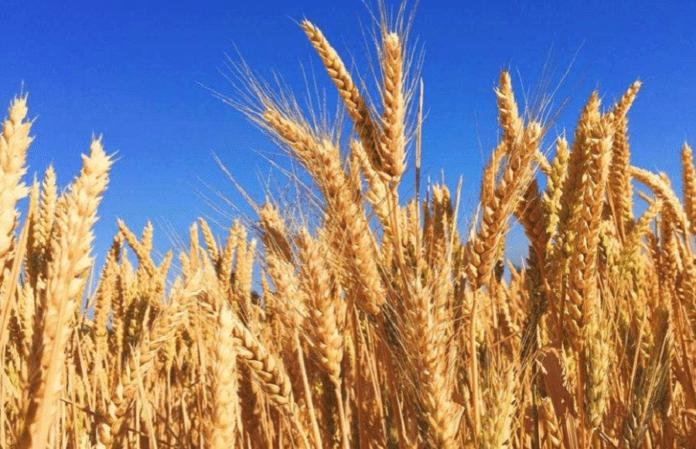 Зростання цін на добрива може призвести до скорочення посівних площ кукурудзи та пшениці